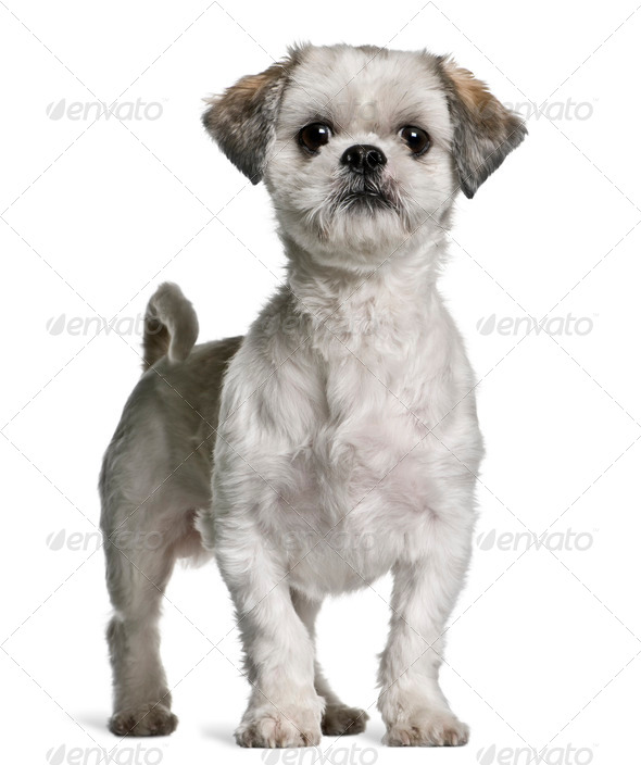 Shih Tzu, 3 years old, standing in front of white background - Stock Photo - Images