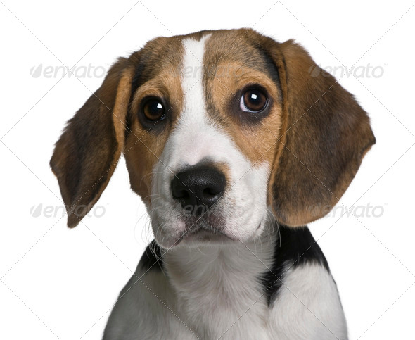 Beagle puppy, 4 months old, in front of white background - Stock Photo - Images