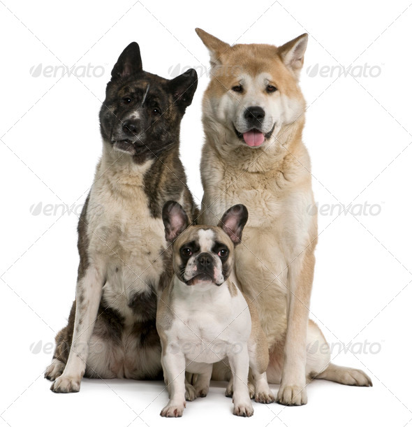 Akita inu dogs and French bulldog sitting in front of white background - Stock Photo - Images