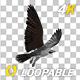 Western Osprey - 4K Flying Loop - Back Angle - VideoHive Item for Sale