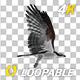 Western Osprey - 4K Flying Loop - Side View - VideoHive Item for Sale
