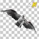 Western Osprey - 4K Flying Transition - I - VideoHive Item for Sale