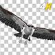 Western Osprey - 4K Flying Transition - II - VideoHive Item for Sale
