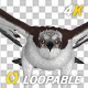 Western Osprey - 4K Flying Loop - Front View - VideoHive Item for Sale