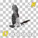 Western Osprey - 4K Flying Round Loop - VideoHive Item for Sale