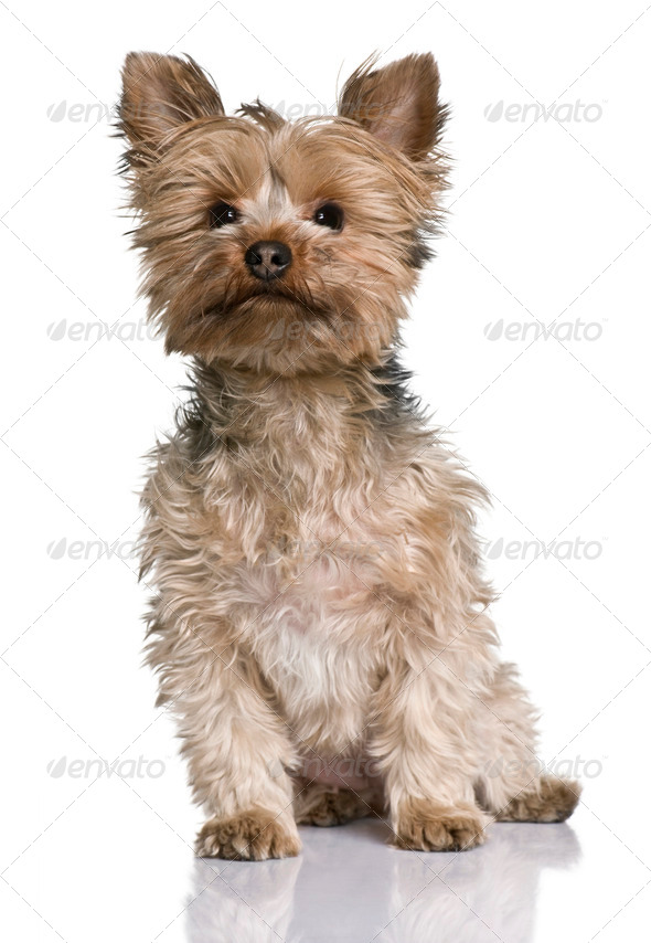 Yorkshire terrier, 20 months old, sitting in front of white background - Stock Photo - Images