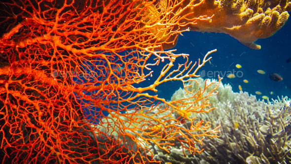 Colorful Red Hard Corals and some Coral Fish around on Kri, Raja Ampat, Indonesia - Stock Photo - Images