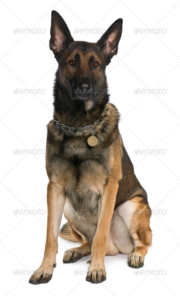 Belgian Shepherd Dog, Malinois, 2 years old, sitting in front of white background - Stock Photo - Images