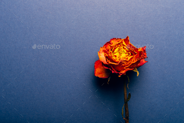 Dried orange rose, beautiful faded flower - Stock Photo - Images