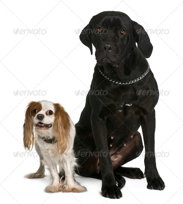 Cane corso and Cavalier king Charles dogs sitting in front of white background - Stock Photo - Images