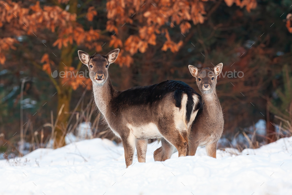 Fallow deer doe and fawn standing close and facing camera - Stock Photo - Images