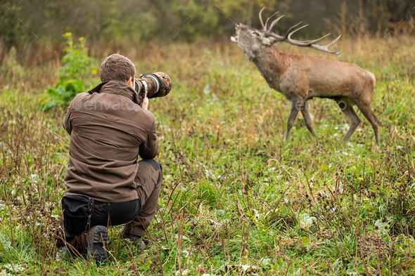 Male wildlife photographer taking pictures of red deer stag roaring on a meadow - Stock Photo - Images