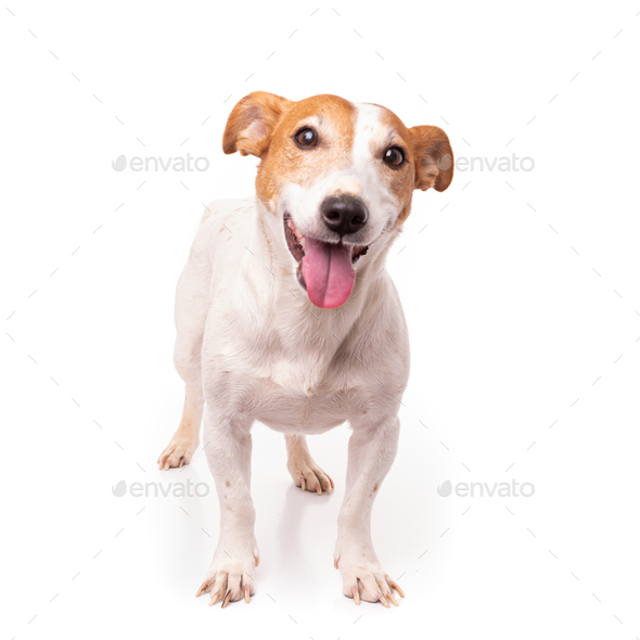 Jack Russell Terrier, isolated on white background at studio - Stock Photo - Images