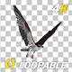 Western Osprey - 4K Flying Loop - Side Angle - VideoHive Item for Sale
