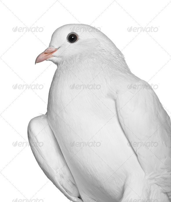 Pigeon, 2 years old, in front of white background - Stock Photo - Images
