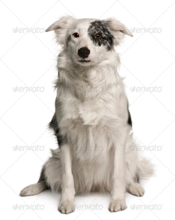 Border collie, 18 months old, sitting in front of white background - Stock Photo - Images