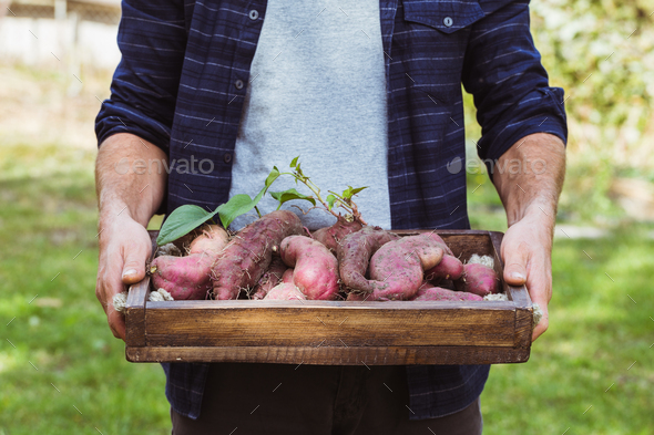 Fresh organic sweet potatoes in hands. - Stock Photo - Images