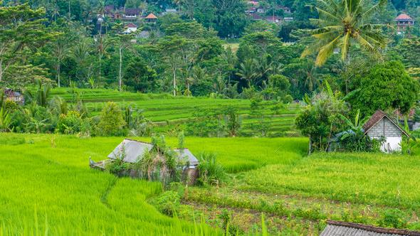 Lush green Rice tarrace in Sidemen. Bali, Indonesia - Stock Photo - Images