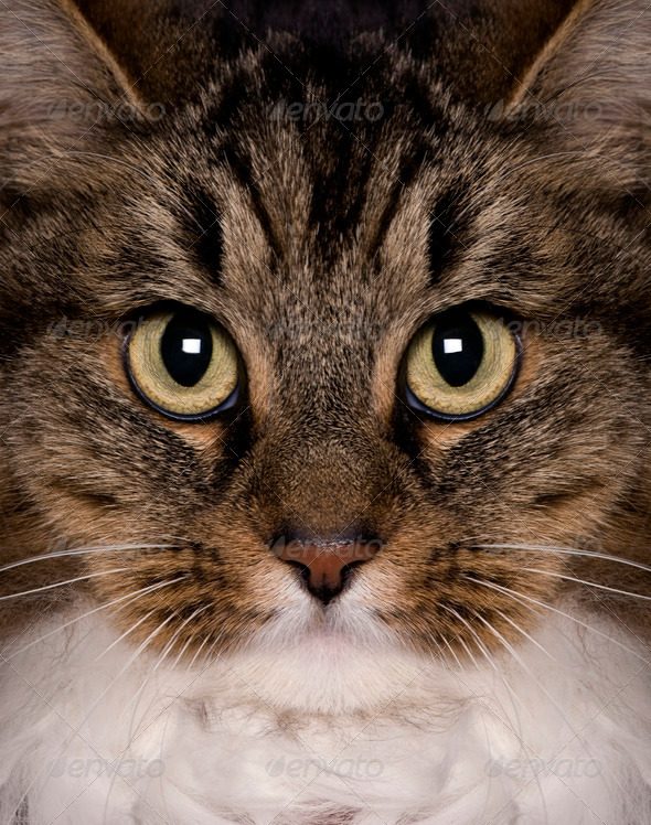 Crossbreed cat, 3 years old, looking at camera - Stock Photo - Images