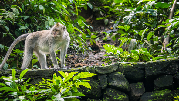 Long-tailed macaques Macaca fascicularis, in Sacred Monkey Forest, Ubud, Indonesia - Stock Photo - Images