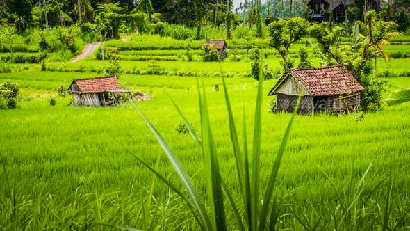 Two huts in Lush green Rice tarrace in Sidemen, Bali, Indonesia - Stock Photo - Images