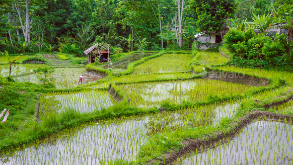 Rice tarrace under Water in Sidemen. Bali, Indonesia - Stock Photo - Images