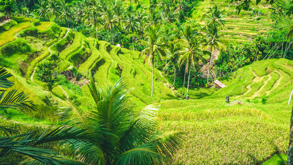 Amazing tegalalang Rice Terrace field covered by beautiful palm trees, Ubud, Bali, Indonesia - Stock Photo - Images