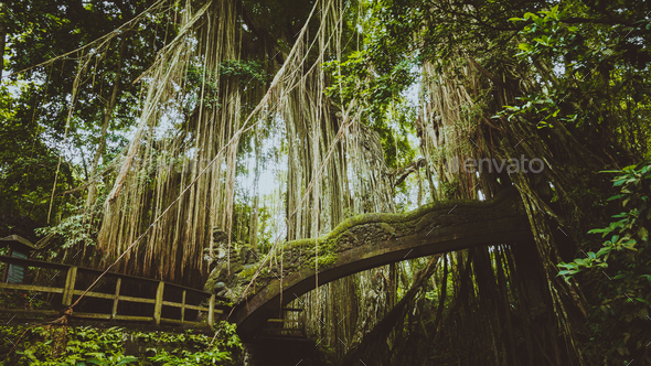 Tropical jungle roots hanging down over the bridge from the huge tree at the Sacred Monkey Forest - Stock Photo - Images