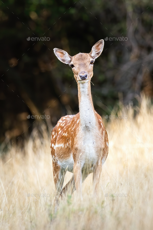 Fallow deer doe with innocent look facing camera on a meadow in summer - Stock Photo - Images
