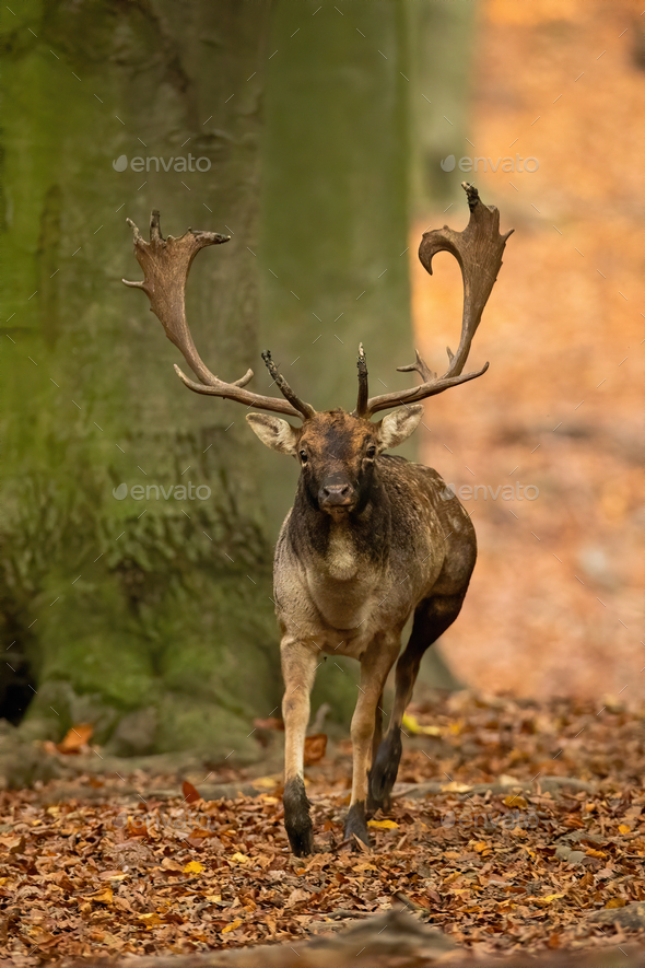 Fallow deer stag with antlers running forward and approaching in autumn forest - Stock Photo - Images