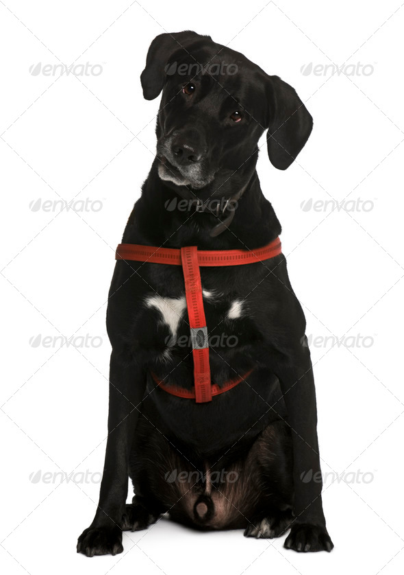 Labrador, 5 years old, sitting in front of white background - Stock Photo - Images