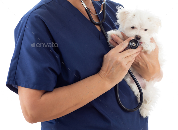 Female Veterinarian with Stethoscope Holding Young Maltese Puppy Isolated on White - Stock Photo - Images
