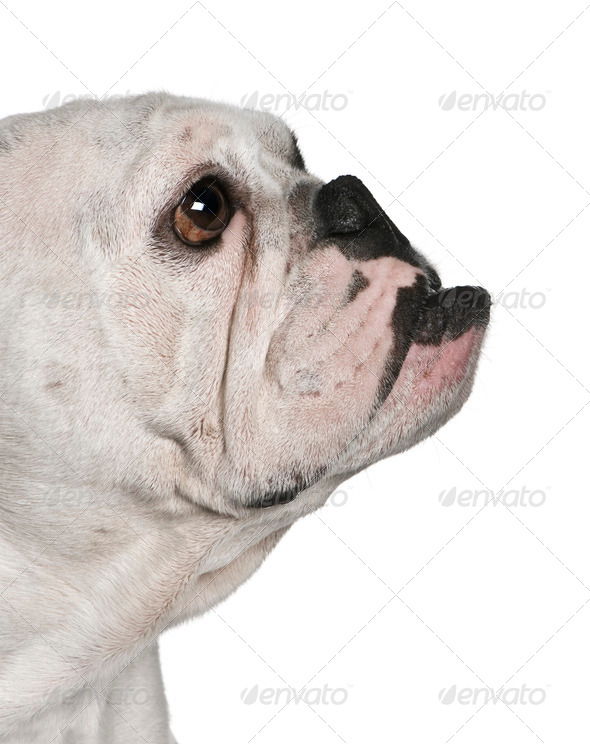 Side view of English bulldog, 4 months old, in front of white background - Stock Photo - Images