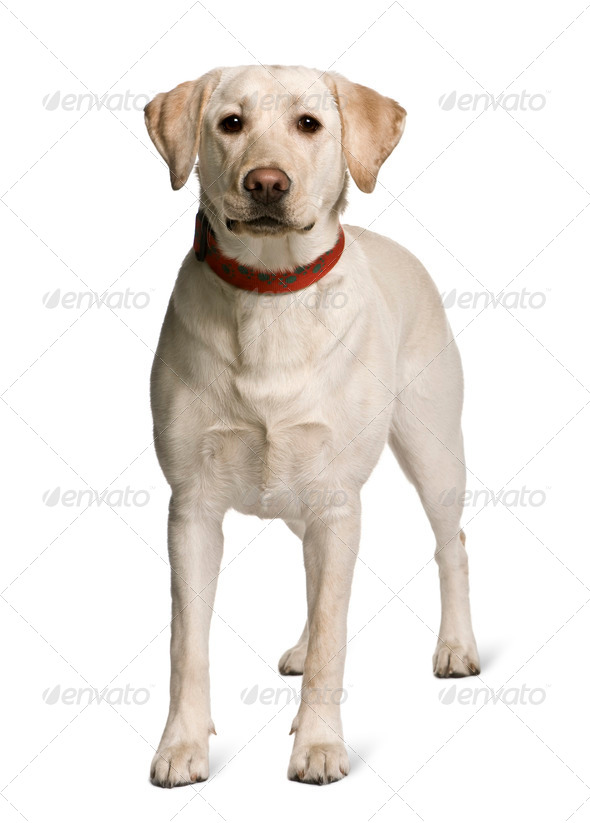Labrador standing in front of white background, studio shot - Stock Photo - Images