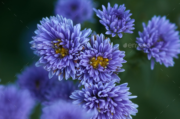 Background of the violet Michaelmas Daisy flowers - Stock Photo - Images