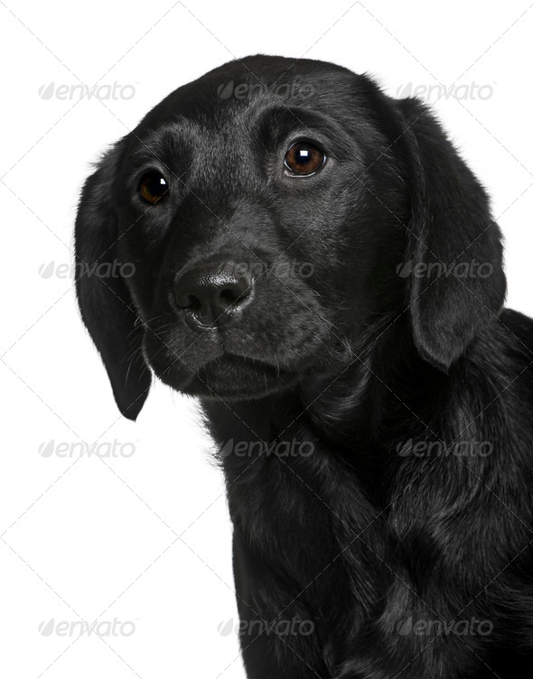 Labrador puppy, 3 months old, standing in front of white background - Stock Photo - Images