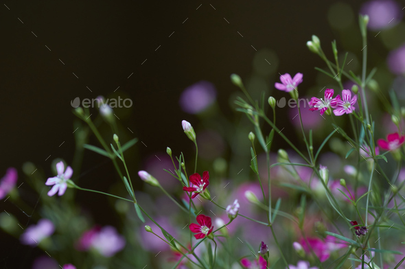 Close-up view of gypsophila flower - Stock Photo - Images