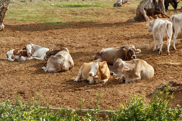 Podolic cows lying  under olive trees in Apulia Region in Italy - Stock Photo - Images