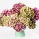Beautiful hydrangea - PhotoDune Item for Sale