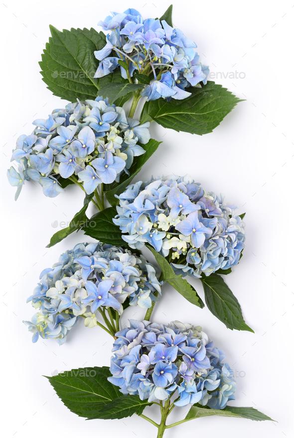Beautiful blue hydrangea - Stock Photo - Images