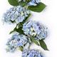 Beautiful blue hydrangea - PhotoDune Item for Sale