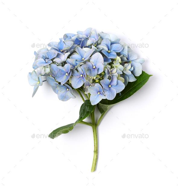 Blue hydrangea close up - Stock Photo - Images