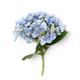 Blue hydrangea close up - PhotoDune Item for Sale