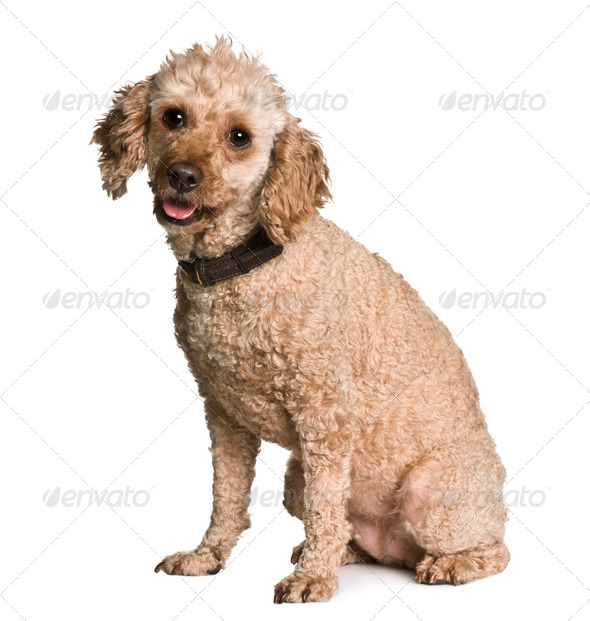 Apricot poodle, 7 years old, sitting in front of white background - Stock Photo - Images
