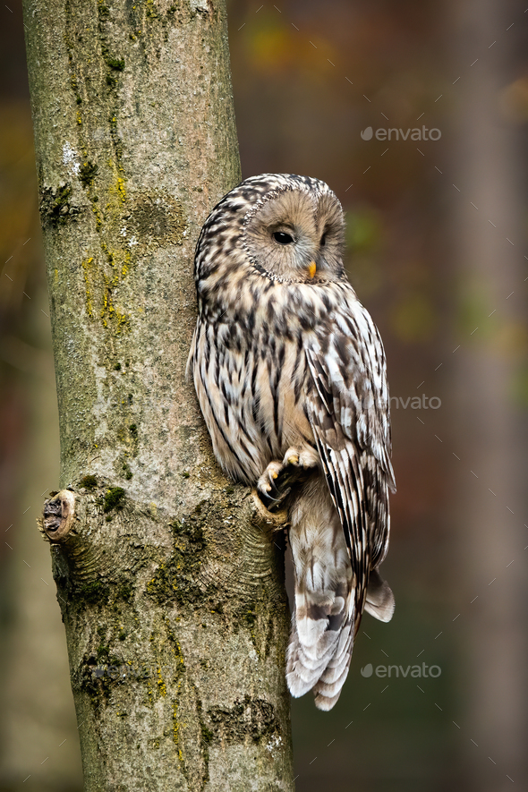 Ural owl, strix uralensis, sitting on a tree in forest - Stock Photo - Images
