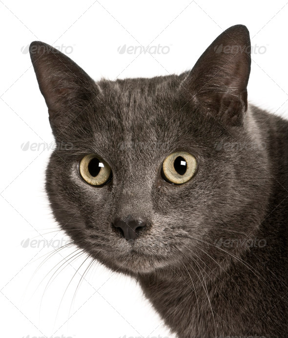 Chartreux cat, 2 years old, in front of white background - Stock Photo - Images