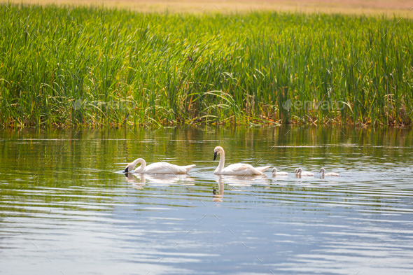 Family of Swan Swimming in the Water. - Stock Photo - Images