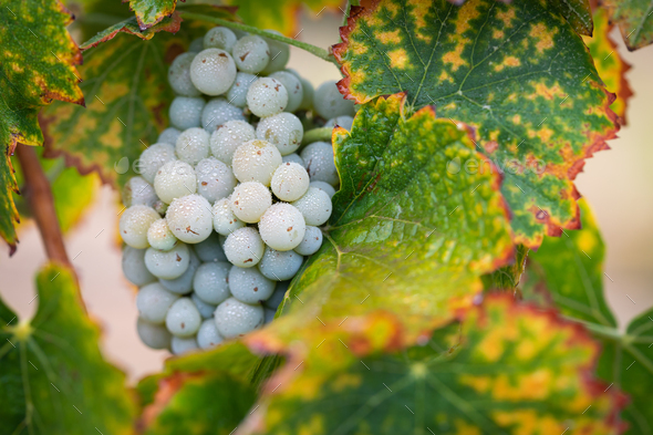 Vineyard with Lush, Ripe Wine Grapes on the Vine Ready for Harvest - Stock Photo - Images