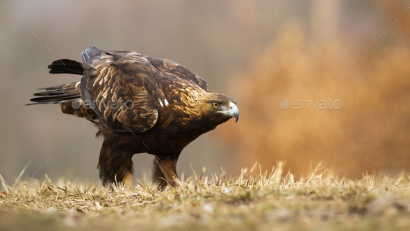 Golden eagle sitting on a meadow in autumn with copy space - Stock Photo - Images