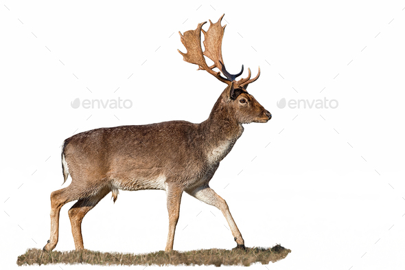 Fallow deer, dama dama, stag with antlers isolated on white - Stock Photo - Images